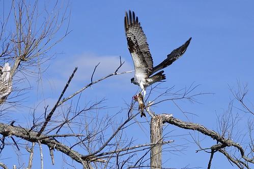 Osprey Frerich takeoff by jambori39