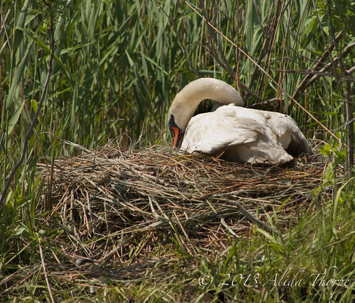 swan nest by Alida's Photos