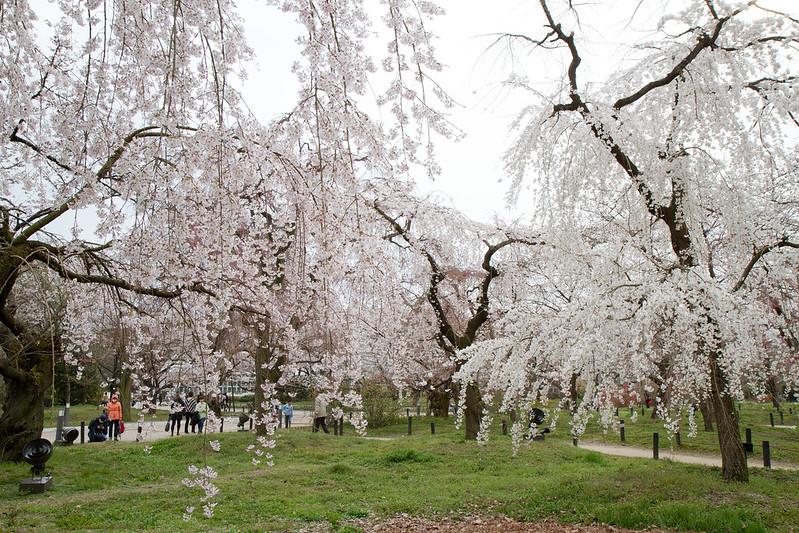 Sakura in Kyoto 37