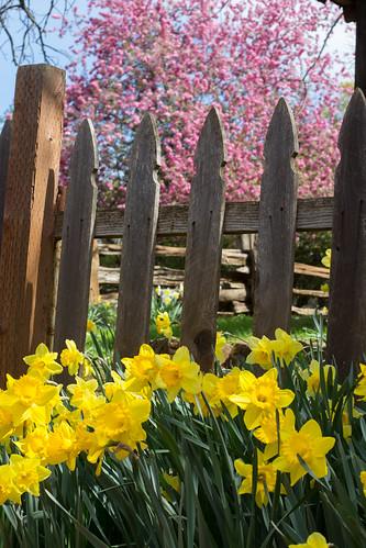 Daffodil Hill-4