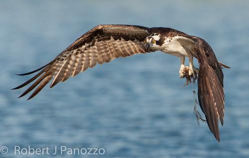 bird sanibel sanibelisland osprey jndingdarlingnwr