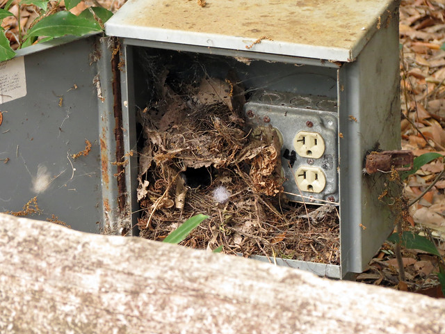 Carolina Wren nest