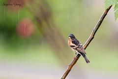 10花雀 Brambling