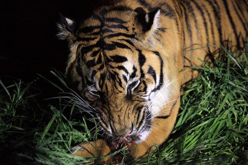 93/365 Tiger feeding