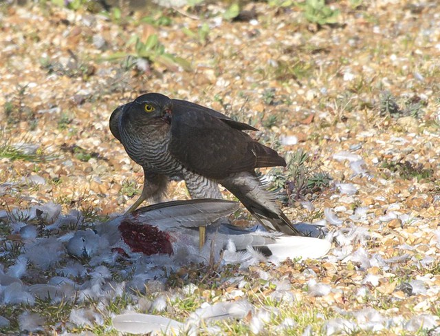 DSC_6165 Female Sparrowhawk with its prey