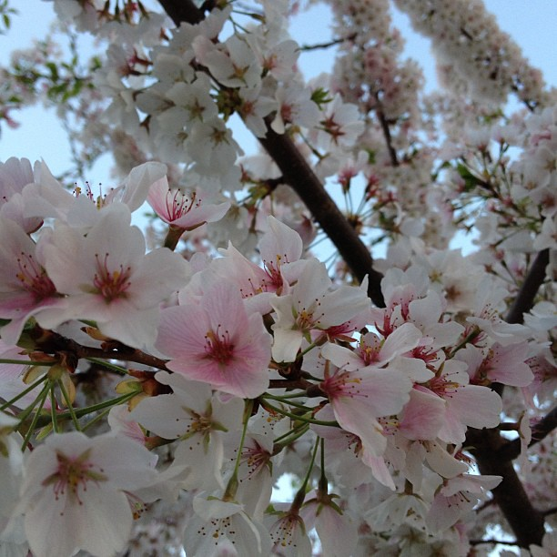 Beautiful cherry blossoms in my in laws front yard! #spring #pretty #flowers