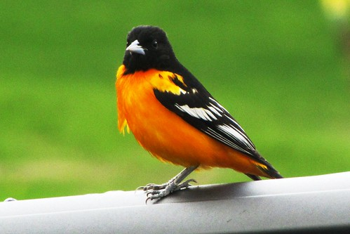 IMG_2195_Baltimore_Oriole