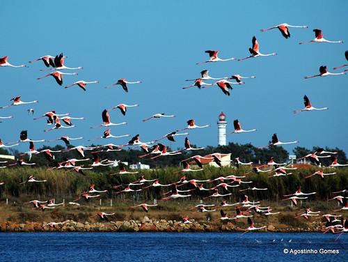 Flamingo (Phoenicopterus roseus) by AgostinhoMSGomes