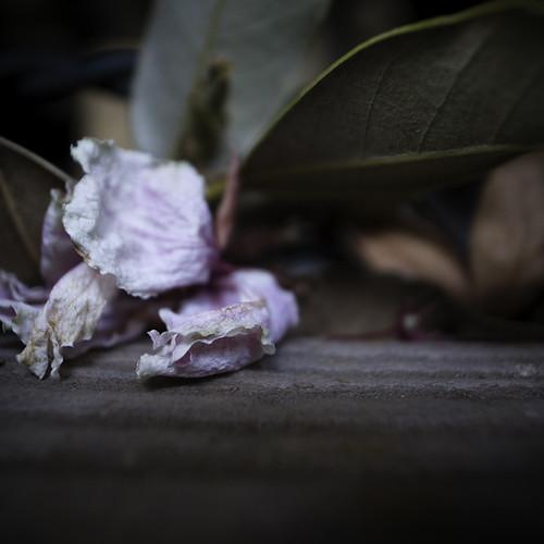Desiccating Cherry Blossom 01