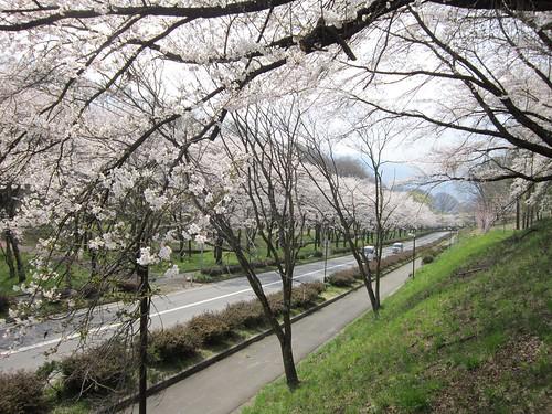 茅野市運動公園の桜/道路沿い 2013年4月16日13:33 by Poran111