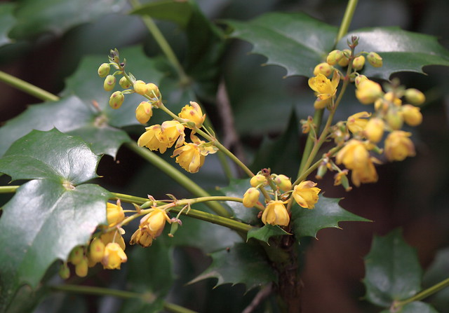 Mahonia / Mahonia japonica / 柊南天(ヒイラギナンテン)