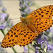 Marbled Fritillary (Martin Johnson)
