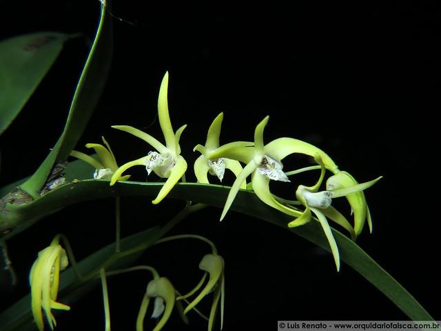 1130 - Dendrobium speciosum x hilda poxon