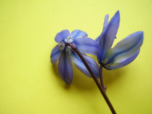Scilla siberia April2013 352 by monica_meeneghan