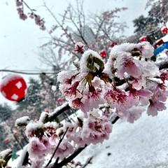 西公園の桜その4