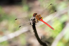 Autumn Meadowhawk dragonfly