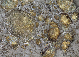 Pyritized shell pavement, Middle Devonian Silica Shale, Sylvania, Ohio, USA