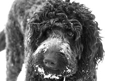 miniature poodle, dog breed, animal, dog, schnoodle, pet, lagotto romagnolo, mammal, irish water spaniel, monochrome photography, portuguese water dog, spanish water dog, barbet, american water spaniel, monochrome, black-and-white, black,