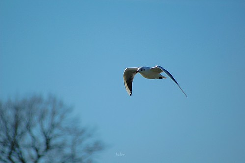 Gull 1 by birbee