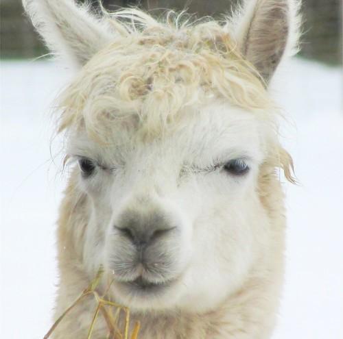 Alpaka face