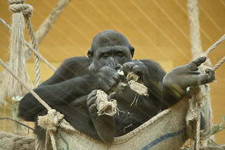 Gorilas casi sin niebla.