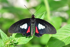 Pink-checked Cattleheart (Parides eurimedes)