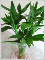 Dracaena braunii or D. sanderiana (Lucky Bamboo, Ribbon Plant/Dracaena, Belgian Evergreen) as table decor at our sitting hall