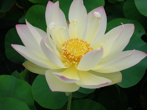 Nelumbo 'Chawan Basù' bianco sfumato di rosa, semplice