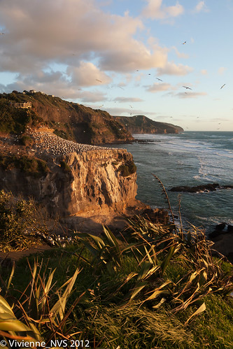 newzealand bird gannet waitakere muriwai australiasiangannet