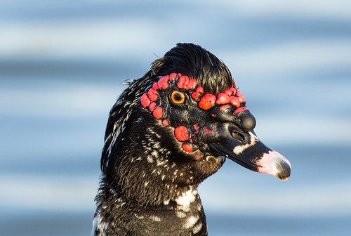 Muscovy Duck (domesticated)