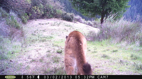 Mountain lion 3/2/2013 @17:32-35; taken by motion-sensor camera in San Mateo County.