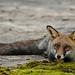 Red Fox (David Morris)