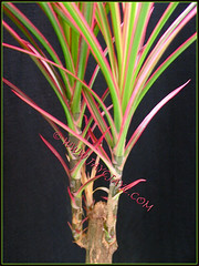 Shoots sprouted from pruned top of Dracaena marginata 'Tricolor' (Rainbow Tree, Variegated Madagascar Dragon-Tree, Red-margined Dracaena)
