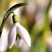 Galanthus nivalis_snowdrop_雪珠花_sneeuwklokje