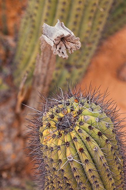 Stages of Life, Organ Pipe Cactus