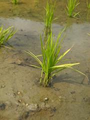 忘憂榖來自水稻品種花蓮21號。