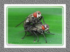 Mating flies, on a Pandan Leaf, at our backyard garden