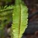 Garden Inventory: Sword Fern (Polystichum munitum) - 5