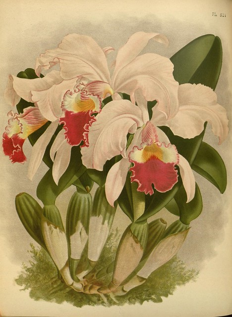 Orchid album :comprising coloured figures and descriptions of new, rare and beautiful orchidaceous plants 1897