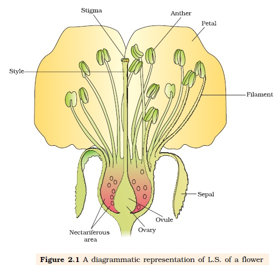 sexual reproduction in flowering plants Plant reproduction answers 1 please refer to your notes or textbook 2 the male gamete or pollen will be found in the anther, and the female gamete or ovum will be found in the ovary 3.