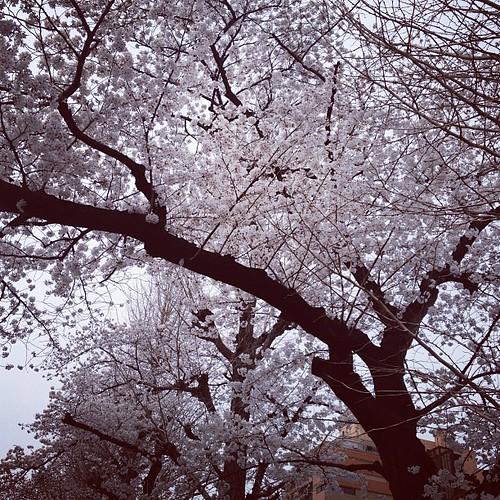 文学部の学び舎も、桜が満開。