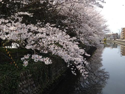 城西公園の桜も綺麗に咲いています。 by haruhiko_iyota