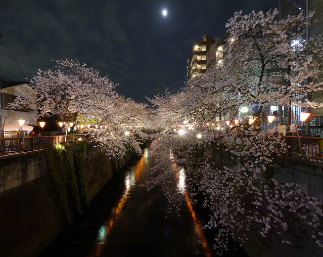 Cherry Blossom at Night