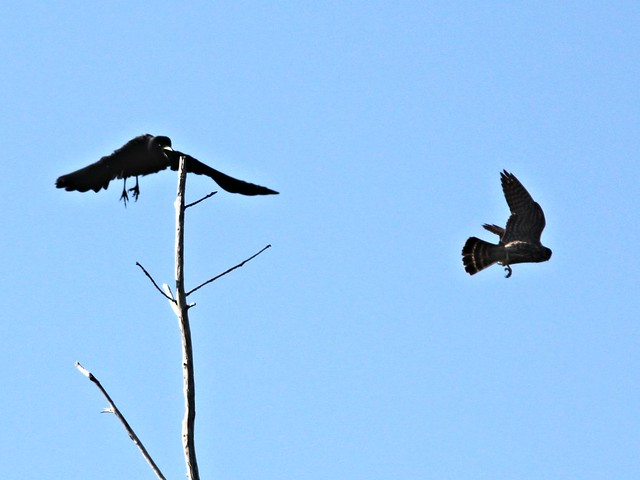 Crow vs Merlin 20130328