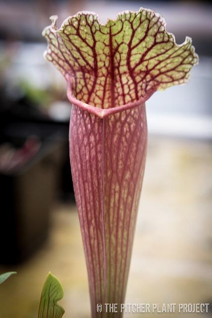 Sarracenia mitchelliana x 'Leah Wilkerson'