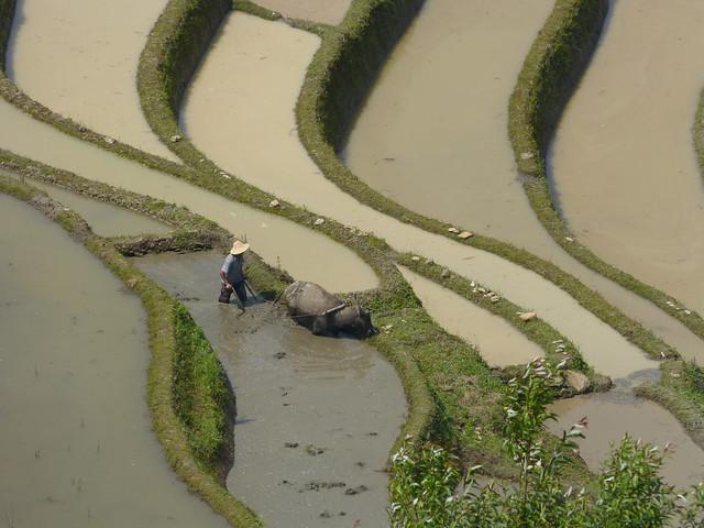 Yunnan 云南 Yuanyang 元阳县 Laohuzui 老虎嘴 terrasses de Baoshanzhai 保山寨 travaux dans les rizières
