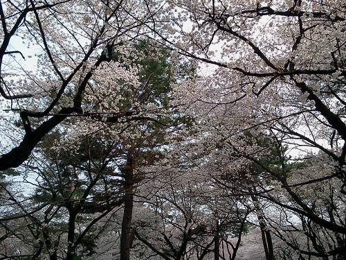 大宮公園の桜 3