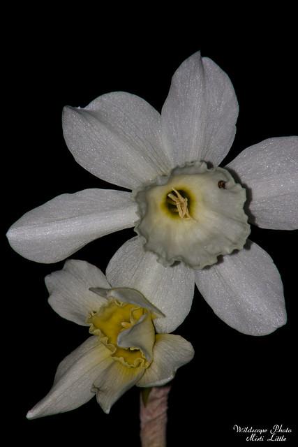 daffodil10