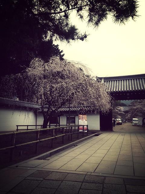 98 醍醐寺與高瀨川夜櫻