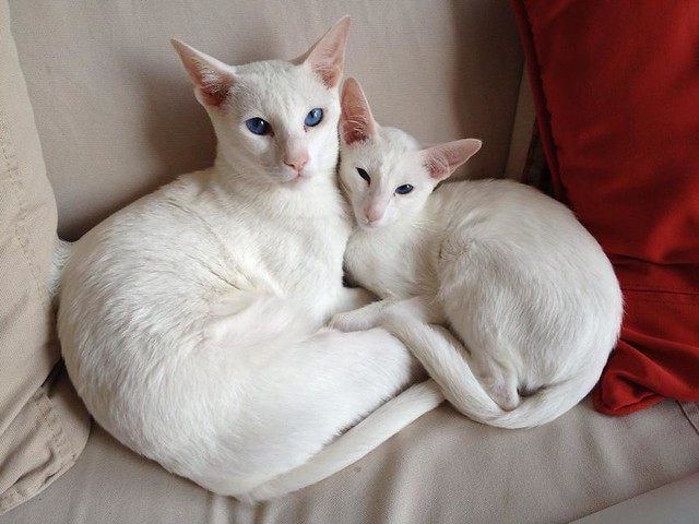 Feline 101 The Oriental Shorthair The Smart Living Network